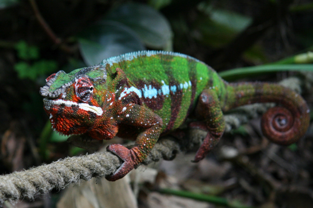 Panther Chameleon at Zürich Zoo, Switzerland. Credit: Marc Staub, originally posted to Flickr as IMG_8957.