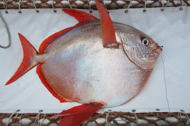Opah. Credit: NOAA Fisheries