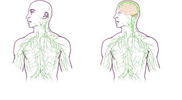 Image: Maps of the lymphatic system: old (left) and updated to reflect UVA's discovery. Image credit: University of Virginia Health System