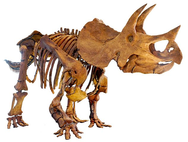 Triceratops skeleton, Natural History Museum of Los Angeles County. Image credit: Allie Caulfield, Wiki.