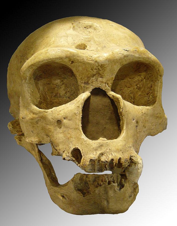 Homo neanderthalensis. Credit: Luna04, Wiki.